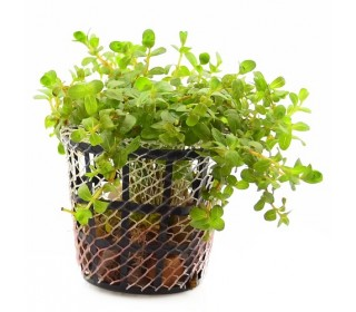 Planta R10 Rotala Sp. (francisco)