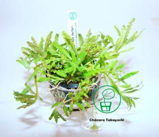 Planta p5 Pogostemon Helferi