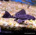 Px Cascudo Abacaxi L021 Pequeno (pterygoplichthys Pardalis)