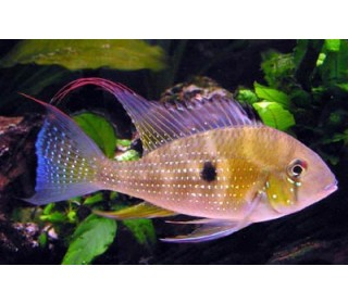 Px Geophagus Heckelii Pequeno