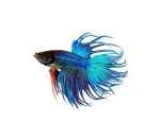 Peixe Betta Crown Tail Macho (betta Splendens)