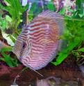 Px Acara Disco Heckel Cross Blue 10-15 cm  (symphysodon Discus)