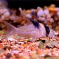 Peixe Coridora Burgessi (corydoras Burgessi)