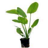Planta E22 Echinodorus Cordifolius