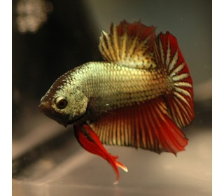 PEIXE BETTA MACHO DRAGON (BETTA SPLENDENS)