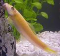 Px Algae Eater Gold