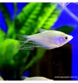 PEIXETRICOGASTER PRATA  MOONLIGHT (TRICHOGASTER MICROLEPIS)