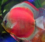 Peixe Acará Disco Red Cover Pequeno