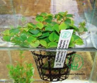 Pl p4 Phyllanthus Fluitans (porção)