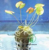 Planta n7 Nymphaea Caerulea