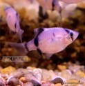 Peixe Sumatra Panda 5 Unidades (Puntius tetrazona)