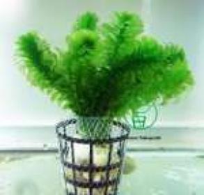 Planta E26 Egeria Densa (elodea)