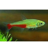 PEIXE TETRA GREEN FIRE (APHYOCHARAX RATHBUNI)