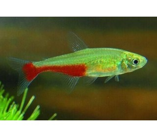 Px Tetra Green Fire (aphyocharax Rathbuni)