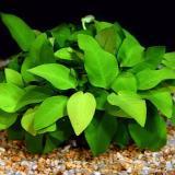 Planta a9 Anubias Barteri (nana)