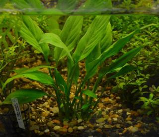 Pl Spathiphyllum Wallisii (lírio da Paz)