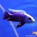Peixe Haplochromis Eletric Blue Ahli Iceberg