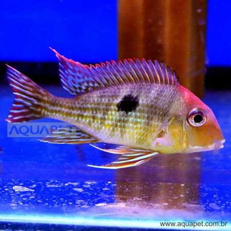 PEIXE GEOPHAGUS RED HEAD MEDIO (GEOPHAGUS SP)
