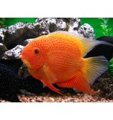 PEIXE SEVERUM RED SPOTTED