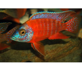 Px Red Peacock Cichlid 5-6cm