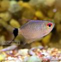 Peixe Tetra Olho de Fogo Balão(moenkhausia Sanctaefilomenae)