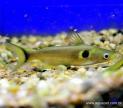 Peixe Sun Catfish (HORABAGRUS BRACHYSOMA)
