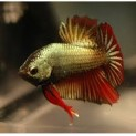 Peixe Betta Dragon Macho