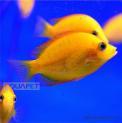 Peixe Mexirica Ouro Pequeno (etroplus Maculatus )