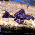 Px Cascudo Abacaxi L021 Grande (pterygoplichthys Pardalis)