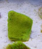 CORAL PSAMMOCORA GREEN (MUDA)