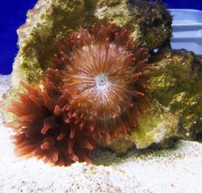 Coral Anemona Bubble Tip Rose (importada)