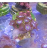 CORAL ZOANTHUS BABY BLUE