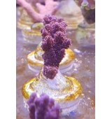CORAL ACROPORA RED PLANET