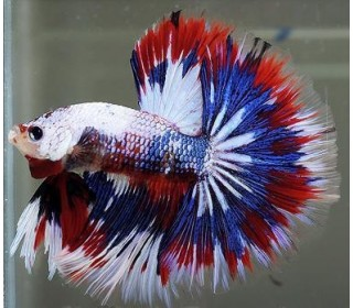 PEIXE BETTA MACHO FANCY (BETTA SPLENDENS)