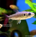 Px Chalceus Yellow Finned Pequeno (chalceus Macrolepidotus)