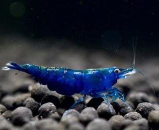 Px Camarão Azul 1-2cm