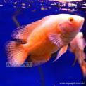 Peixe Oscar Albino Red Ruby mg (astronotus Ocellatus)