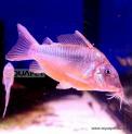 Peixe Coridora Brochis Splendens (brochis Splendens)Corydora