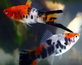 Px Espada Koi Tricolor Showa (xiphophorus Helleri)