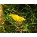 Px Camarão Yellow 1-2cm