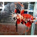 Px Betta Macho Koi (betta Splendens)